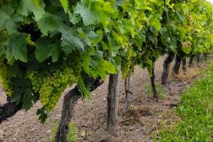 Vignes-Cognac-Reviseur