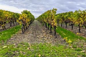 1_Vignes-Cognac