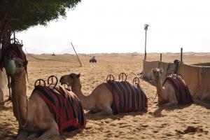 17_camel-dubai