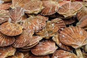 Coquilles-St-Jacques-Normandie