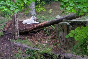 10-tigre-blanc