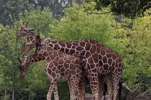 11-girafe