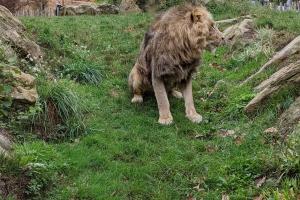 14-lion-proche