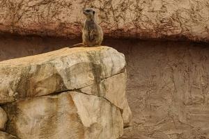 15-suricate-debout