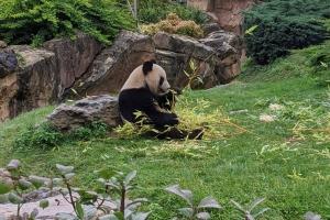 25-panda-geant-mange