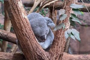 26-koala-dort