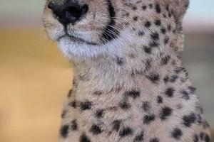 3-guepard-visage