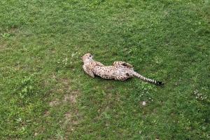 4-guepard-entier
